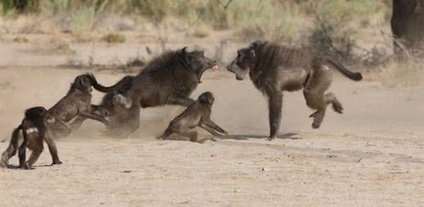 chimpanzes entre os assassinos mais brutalmente sociopatas da natureza