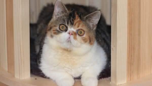 Gato Exotico de Pelo Curto entre as racas de gatos mais bonitas do mundo