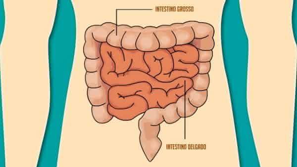Intestino Delgado e Intestino Grosso entre os orgaos mais importantes do corpo humano