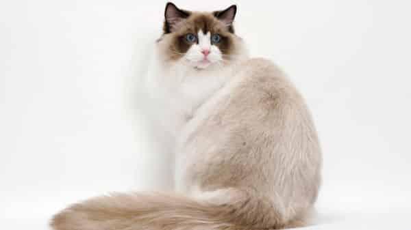 Ragdoll entre as racas de gatos mais bonitas do mundo
