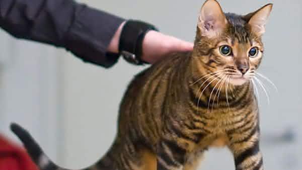 Toyger entre as racas de gatos mais bonitas do mundo