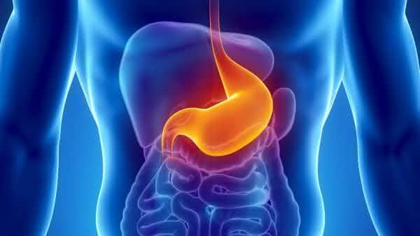 estomago entre os orgaos mais importantes do corpo humano