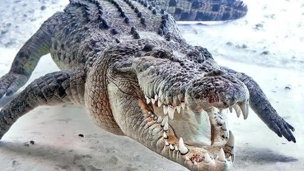 Crocodilo Marinho entre os animais mais perigosos para cacar