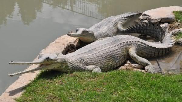 gavial entre os maiores repteis do mundo