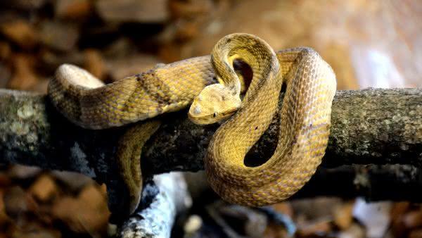 Jararaca-Ilhoa entre as cobras mais venenosas do brasil