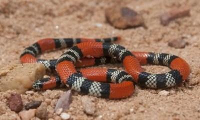 cobra coral entre as cobras mais venenosas do brasil