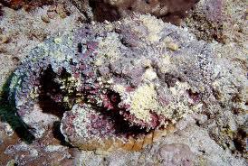 Pez Piedra los animales más venenosos del mundo