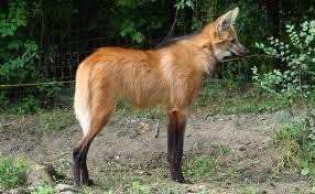 El Aguara guazú Animales Más Extraños Raros del Mundo