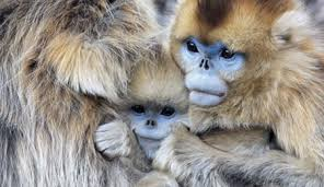 El Mono de nariz chata - Animales raros