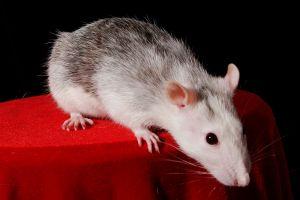 Myš SXC