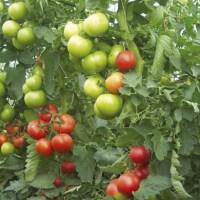 Българин изобрети метод за отглеждане на домати без пръскане с отрови