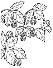 Garden fruits to colour