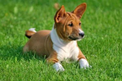 Basenji Poradie najlepších plemien psov vhodných do bytu . Najlepší pes do bytu . Ktorý pes sa do bytu najviac hodí . Najlepšie psy do bytu.