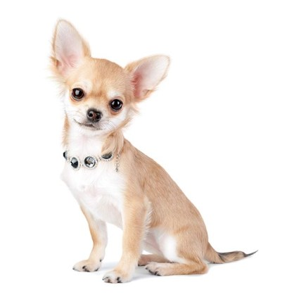 Chihuahua Poradie Pes do bytu