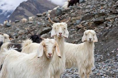 Himalayan goat Zvieratá z Himalájí