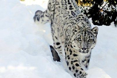 Snow leopard Zvieratá z Himalájí