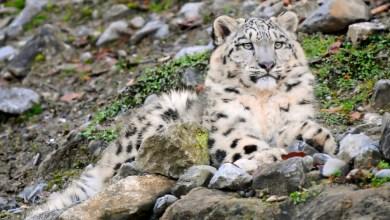 Thaiwanský snehový leopard