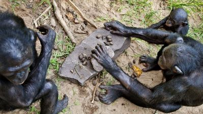 Šimpanz bonobo Romantické zvieratá
