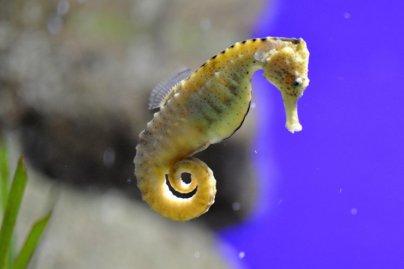 Morskí koník Romantické zvieratá