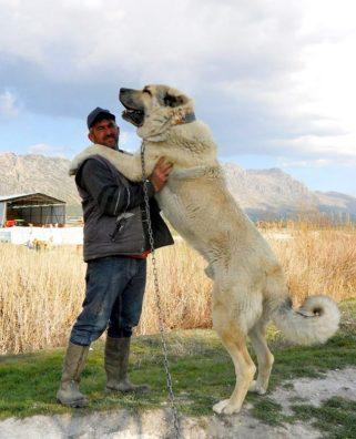 Stredoázijský ovčiak najväčších plemien psov na svete najväčší pes na svete