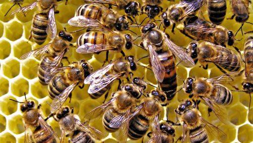 včely ako včely komunikujú?
