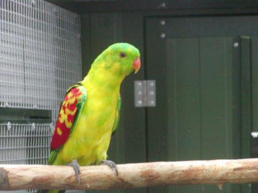 Vtaky, papagaj