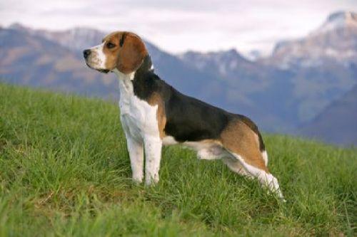 bigl Psy s dobrým čuchom