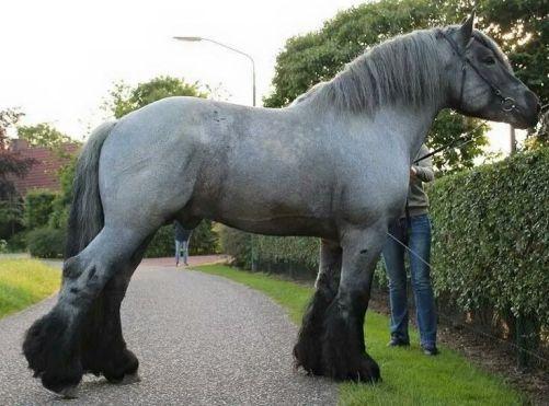 Holandský chladnokrvník Zoznam najsilnejších plemien koní na svete. Plemena koní ktoré majú neskutočnú silu .