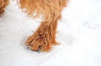 2.Pripravte psovy nohy pred tým, ako s ním pôjdete von Pes na zimu