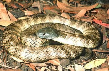 4. Tiger Snake