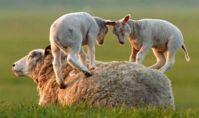 5. Jahňatá hrajúce na matke ovci