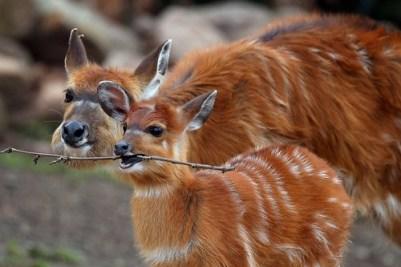 8. Detská antilopa sa hrá s paličkou