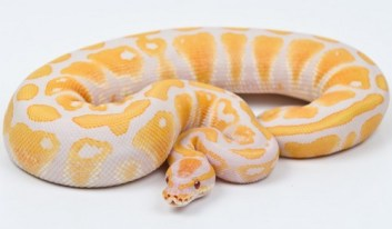 8. Lavender Albino Ball Python Najdrahšie domáce zvieratá