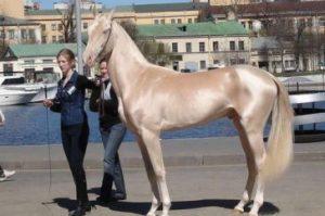 Achaltekinský kôň 10 najkrajších koní z celého sveta . Najkrajšie kone z celého sveta . Najkrajšie plemena koní s ktorými sa môžete stretnúť . 10 najkrajších koní