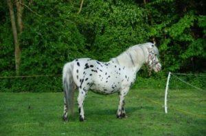 10. Dalmatínsky kôň