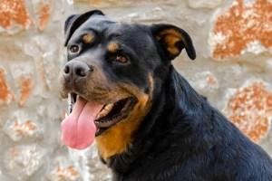 3. Rotvajler najnebezpečnejších plemien psov
