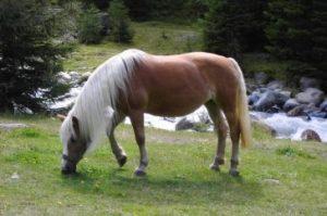 6. Hafling 10 najkrajších koní z celého sveta . Najkrajšie kone z celého sveta . Najkrajšie plemena koní s ktorými sa môžete stretnúť . 10 najkrajších koní