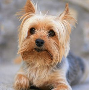10.Jorkšírsky teriér Najobľúbenejšie plemena psov