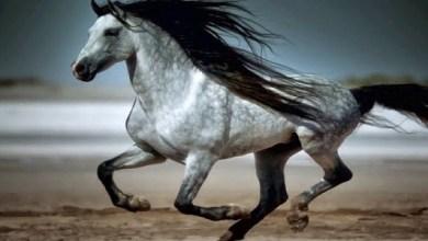2.Andalúzsky kôň (Andalusian horse)