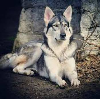 3.Northern Inuit (Northern Inuit Dog) plemeno psa ako vlk