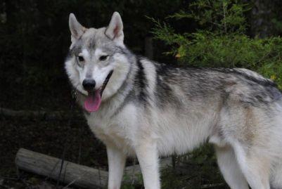 Tamaskan plemeno psa ako vlk