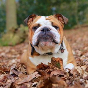 5.Anglický buldoček Najobľúbenejšie plemena psov