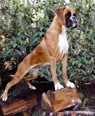 5.Boxer Svalnaté psy
