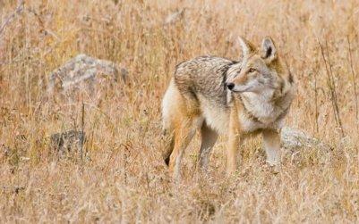 5.Kojot prériový divý pes