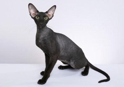 7. Peterbald Najvzácnejšie mačky