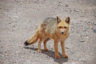 8.Líška horská