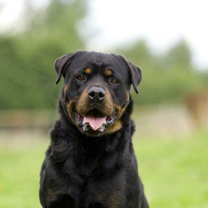 8.Rotvajler Najobľúbenejšie plemena psov
