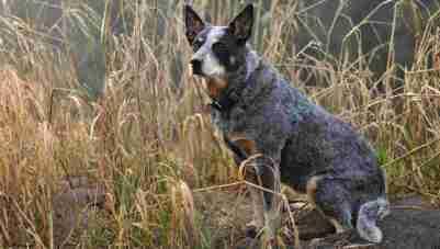 9.Austrálsky dobytkársky pes