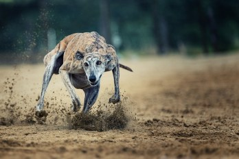 1.Greyhound