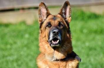 1.Nemecký ovčiak  Policajné psy Aký je najlepší policajný pes Plemená policajných a vojenských psov